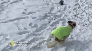 Basil the dog enjoys some snow zoomies after tipping his wheelchair