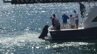 Pancho the Sea Lion Hitches Ride on Fishing Boat for Snacks in Cabo - Video