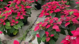 Family-owned Bradenton nursery continues annual poinsettia open house despite pandemic