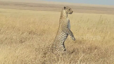 Mother leopard stands on hind legs to look for lost cub