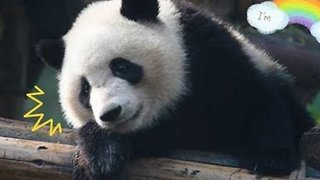 Hilarious Moments of Adorable Pandas Falling From Trees - Video