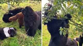Newfoundland dogs adorably decide to go apple picking