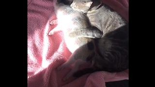 Loving cat gently grooms sleeping mini pig - Video