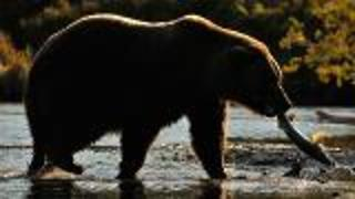 Grizzlies Thriving in Warming Climate - Video
