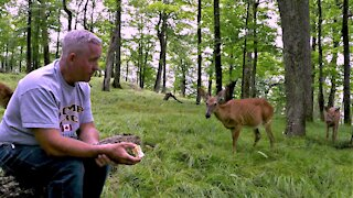 Deer brings her fawns to visit man eating apples in the forest
