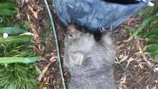 Boisterous Wombat Goes on a Garden Rampage - Video