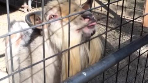 This Goat Makes the Weirdest Noises - Can't Stop Laughing