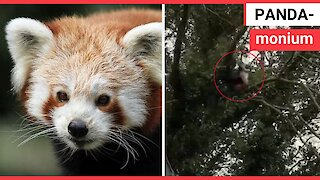 Mischievous red panda that escaped from a wildlife park has been recaptured