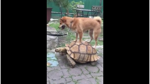Shiba Inu Catches Ride On Top Of Giant Turtle