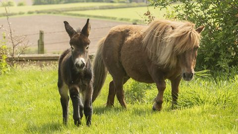Shetland pony gives birth to half horse half donkey baby after vet told her it was impossible for pair to breed