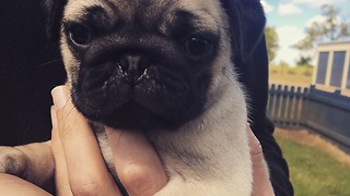 Pug puppy wags his tiny little tail