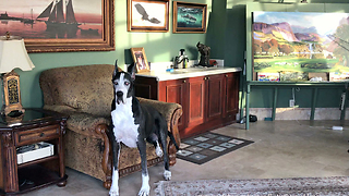 Happy Brother and Sister Great Danes Love Relaxing Together  - Video