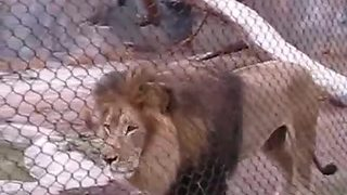 Male Lion Belts Out Epic Roar For Zoo Visitors - Video