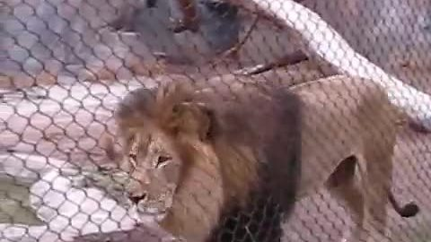 Male Lion Belts Out Epic Roar For Zoo Visitors