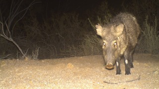 7 strange things you need to know about javelina - ABC15 Digital - Video