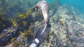 Curious baby seal nibbles on diver's fins