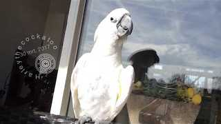 Cockatoo Gets in Summer Mood By Singing in the Sunshine - Video