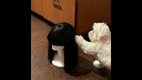 Puppy confused by mannequin head wearing wig