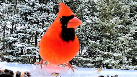 Cardinals in the gently falling snow are a breathtaking sight