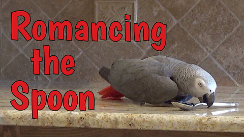 Parrot decides to court kitchen spoon