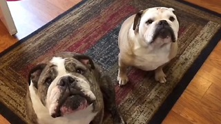 Bulldog clearly not a fan of owner's singing - Video