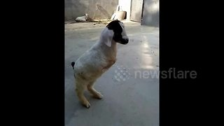Goat born with only two legs - Video
