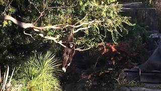 Amusing monkey casually swings from a tree