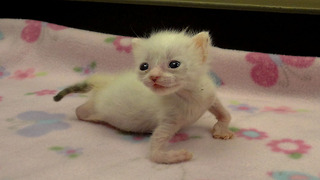 Kitten With Twisted Arms and Legs Refuses to Give Up - Video