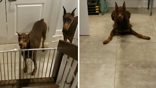 Dog gets extremely excited when she know she's about to eat