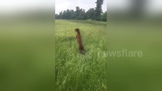 Excited Dog Jumps Around The Field Like A Kangaroo