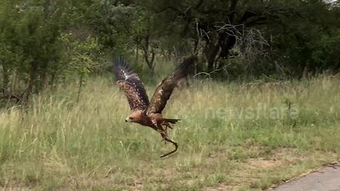 Cheeky eagle steals mate's lunch