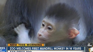 Zoo welcomes first Mandrill monkey in 14 years - Video