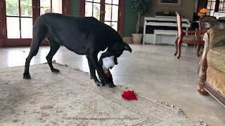 Playful Great Dane Has Fun Undressing Her Snoopy Stuffie Toy