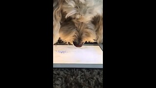 Bored dog in quarantine can't stop playing games on tablet
