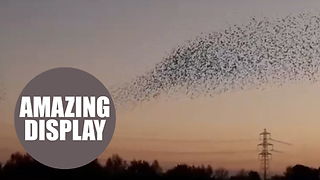 A mesmerising starling murmuration - Video
