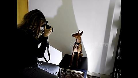Model dog poses perfectly for fashion photographer