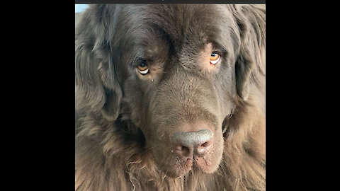 Newfoundland waits for command before chomping on a treat