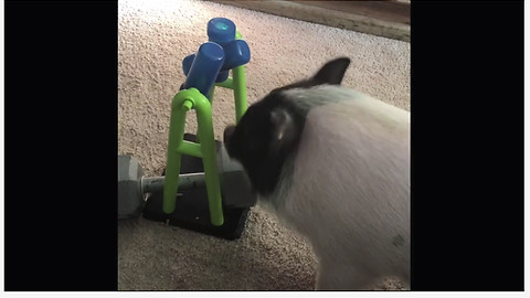 Clever pig quickly outsmarts his new toy