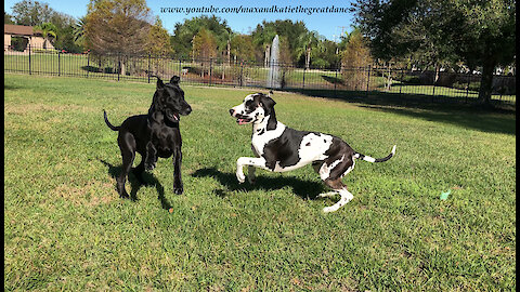 Funny Energetic Great Danes Argue About Newspaper Delivery