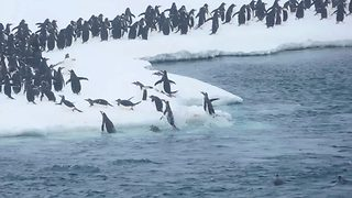 Excited Penguins Leap Out Of Ocean As They Make There Way To Their Winter Home - Video