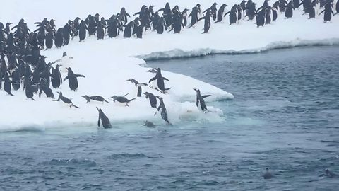 Excited Penguins Leap Out Of Ocean As They Make There Way To Their Winter Home