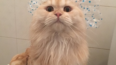 Meepo the cat loves to take showers