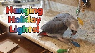 Parrot works hard to install Christmas lights