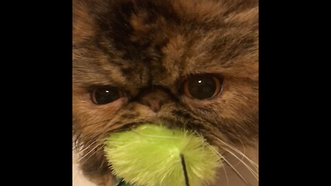 Persian cat hilariously reacts when owner tries to take her toy away