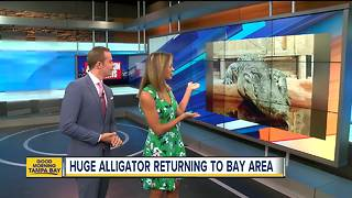 14-foot-long alligator named 'Mighty Mike' returning to Tampa Bay area this fall - Video