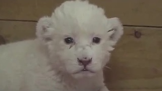 Rare White Lion cub attempts to roar for the first time - Video