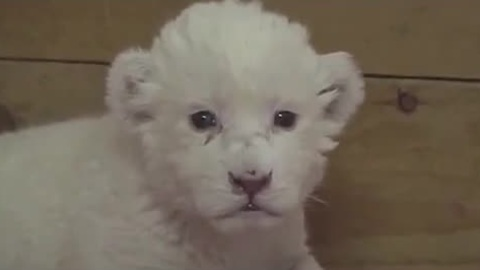 Rare White Lion cub attempts to roar for the first time