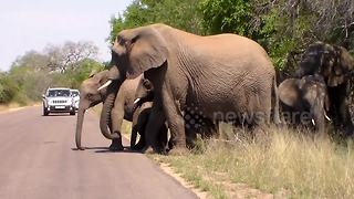 Adorable moment elephant herd escorts calfs across road in Kruger National Park - Video