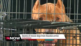 Nearly 50 Houston shelter dogs arrive in Waukesha - Video