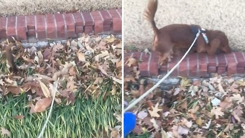 Adorable Daschund Gets Buried While Running Through Pile Of Leaves